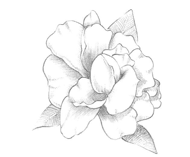 -шаг-3 Как нарисовать цветы карандашом