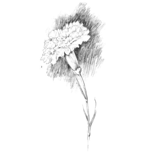 Как нарисовать гвоздику карандашом