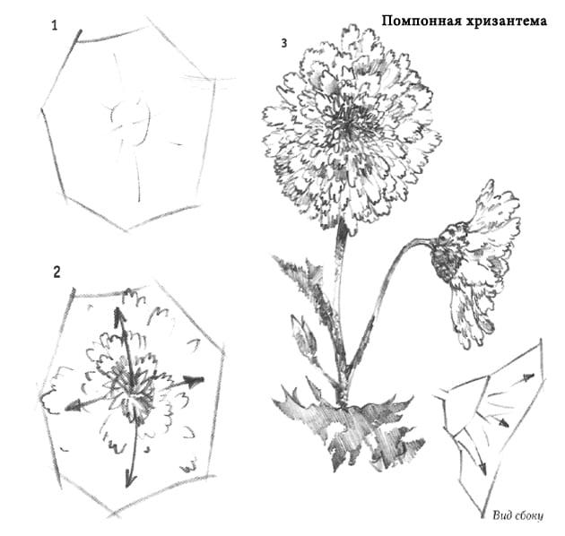 -хризантема Уроки рисования