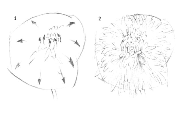 Как нарисовать хризантему карандашом