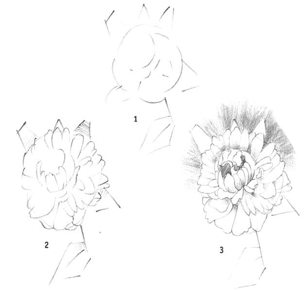 -пион Как нарисовать пион карандашом