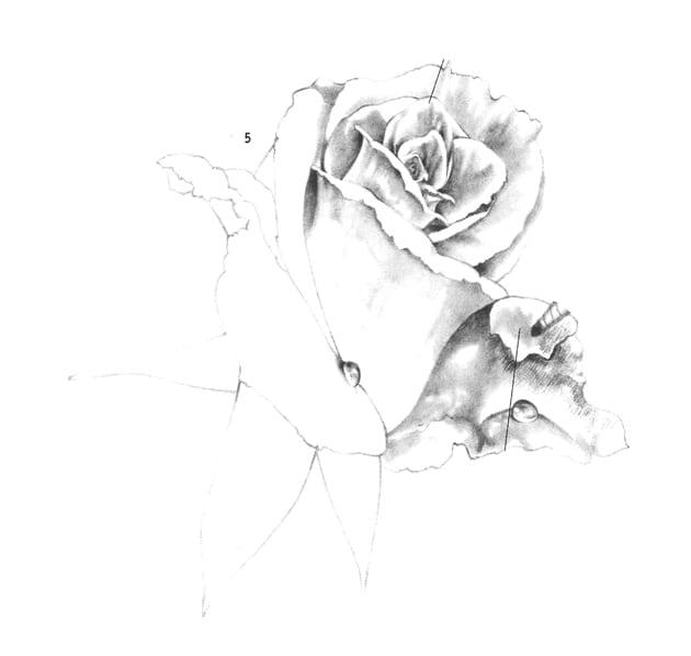 Как нарисовать чайную розу карандашом
