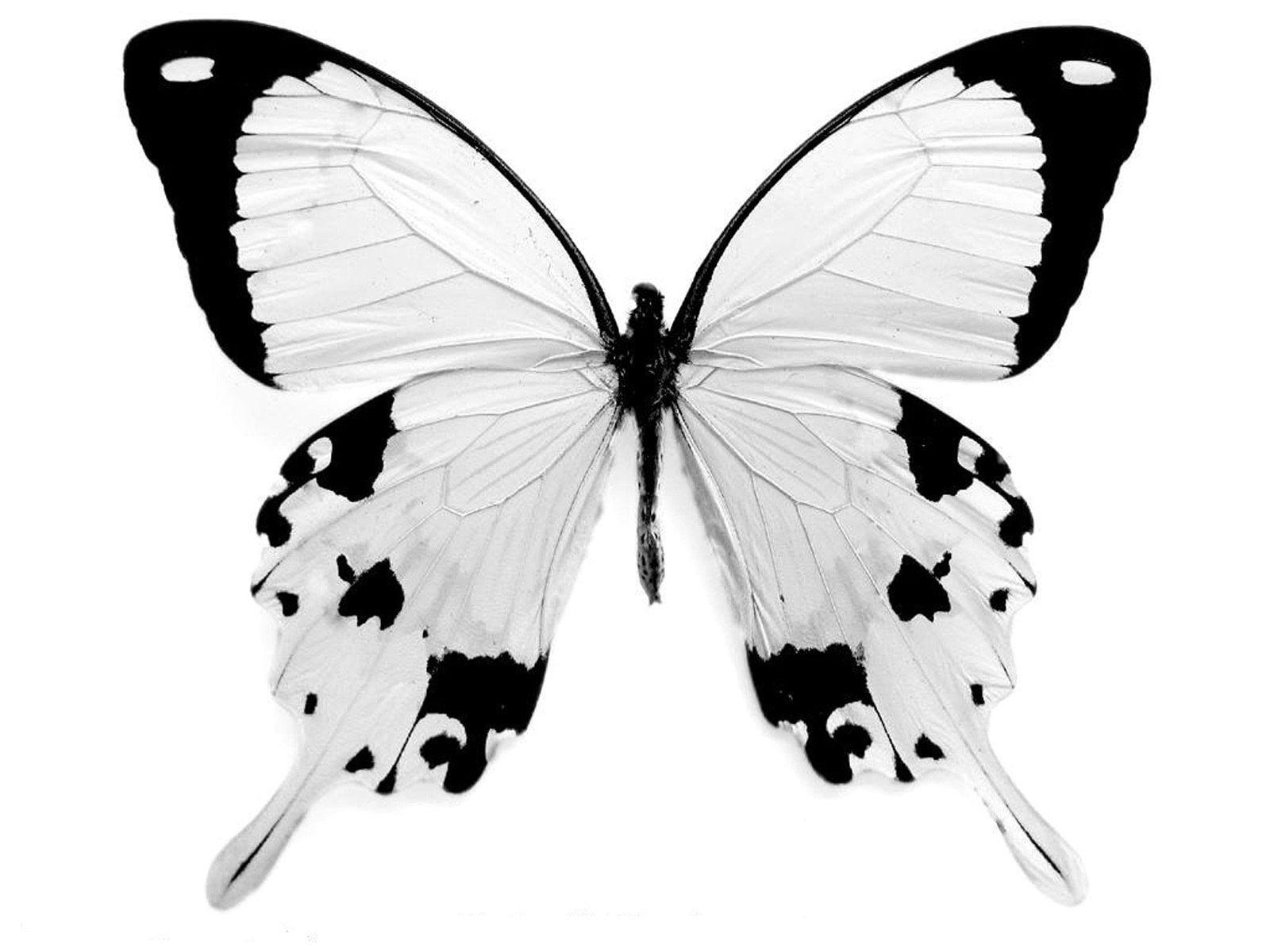 Картинки бабочки в черно белом цвете