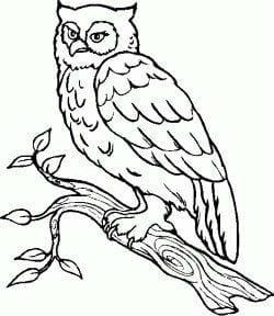 сова раскраска (301)