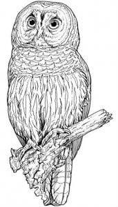 сова раскраска (310)