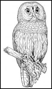 сова раскраска (515)