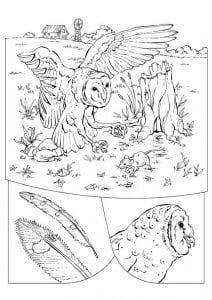 сова раскраска (528)