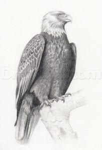Как нарисовать орлана