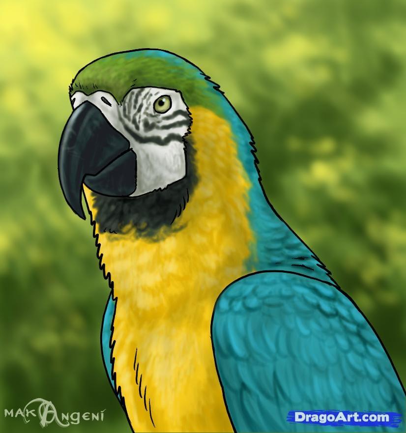 Как нарисовать попугая ара