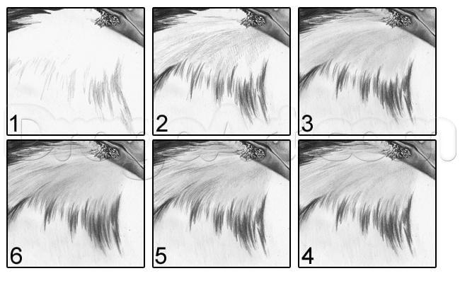 24 Как нарисовать ястреба