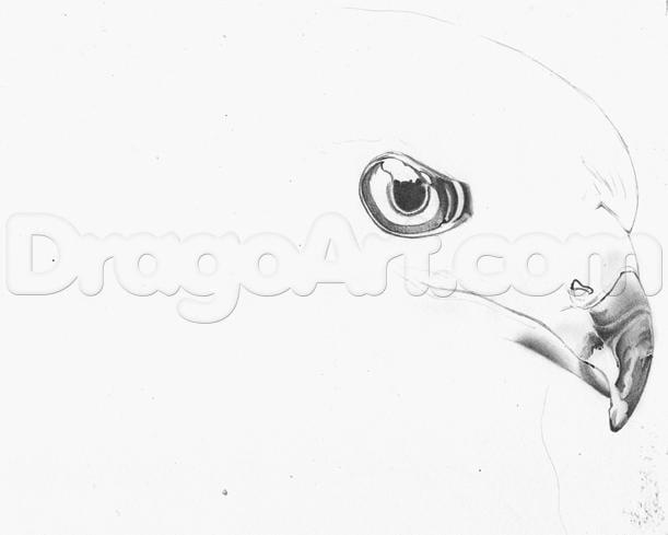 Как нарисовать ястреба