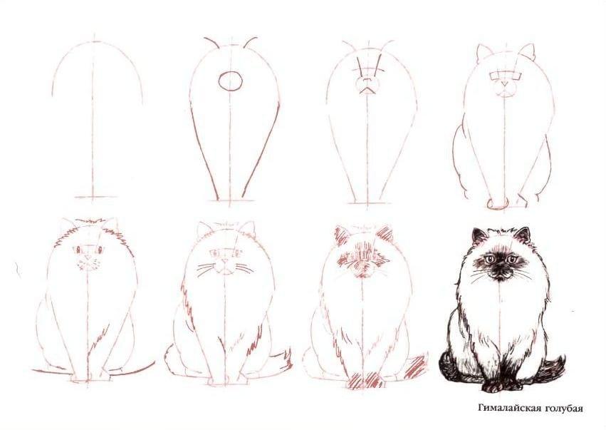 как нарисовать гималайскую кошку