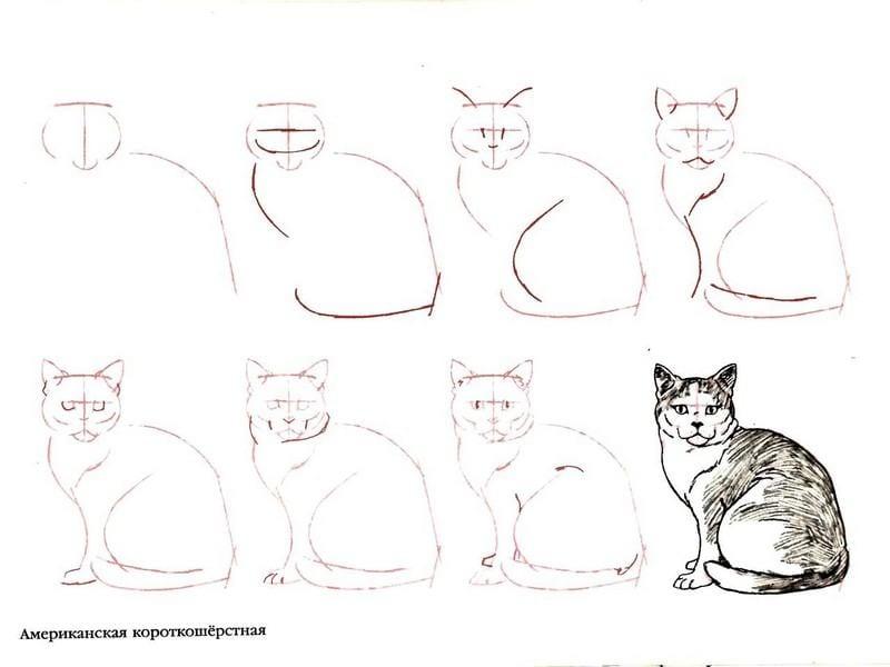 как нарисовать американскую короткошерстную кошку