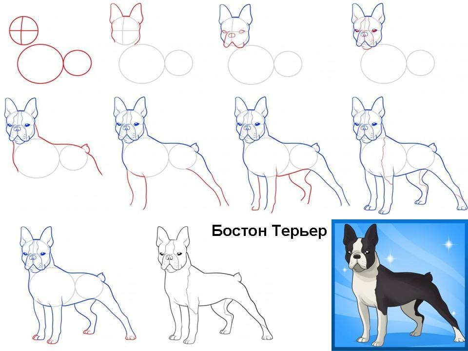 kak-narisovat-boston-terier1 Как нарисовать собаку