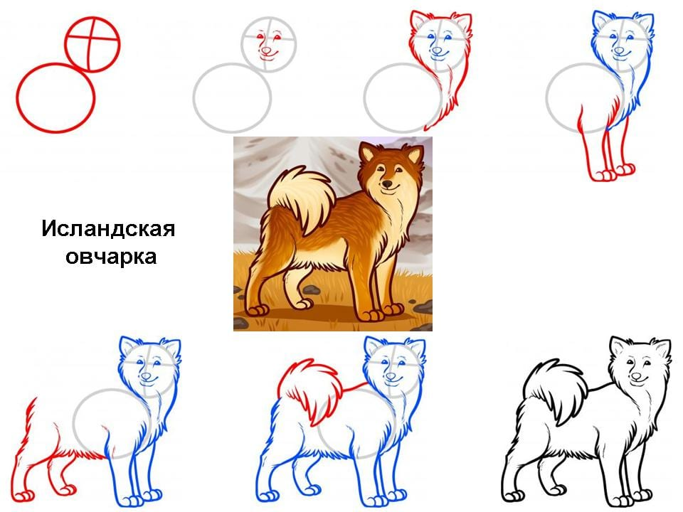 kak-narisovat-islanskuyu-ovcharku Как нарисовать собаку