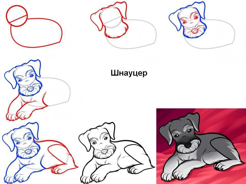 как нарисовать шнауцера