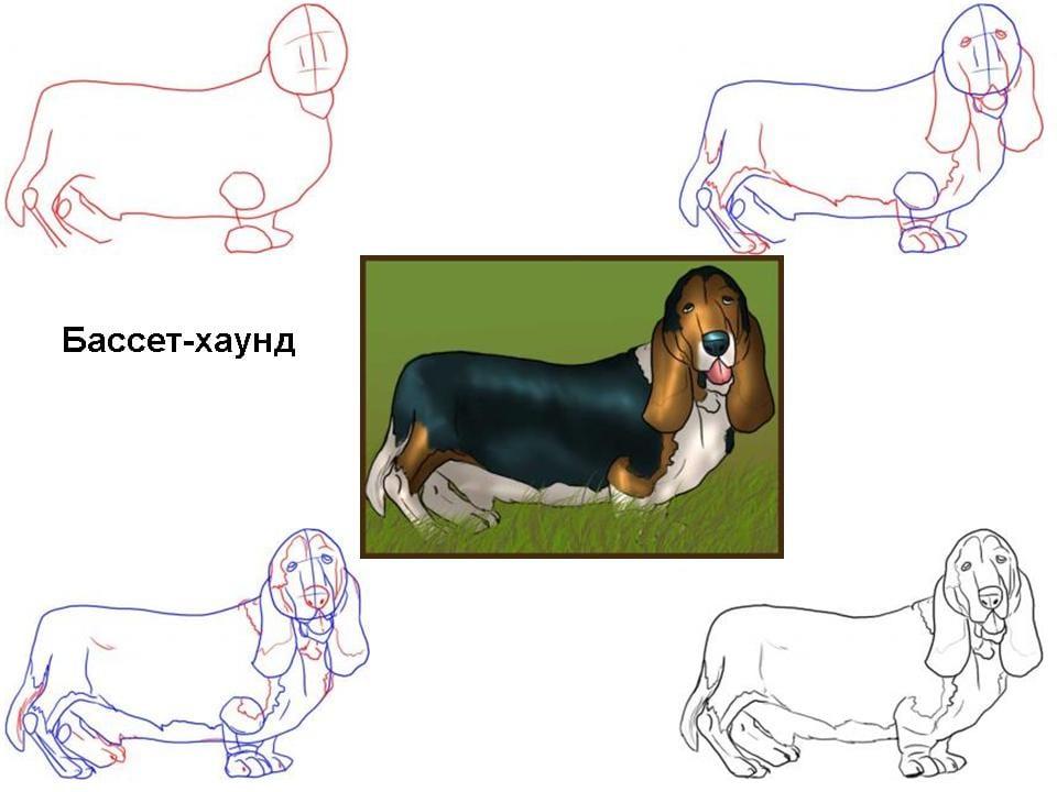 kak-narisovat-sobaku-basset-haund Как нарисовать собаку