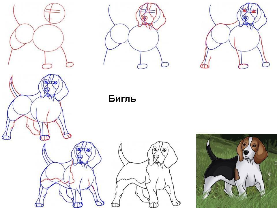 как нарисовать бигля