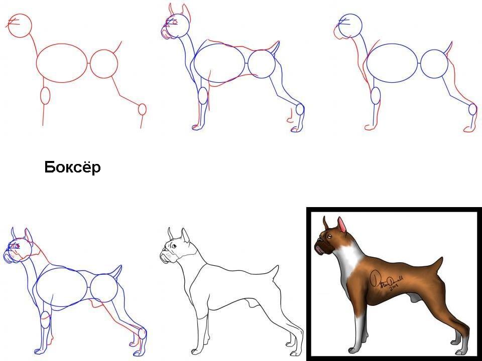 как нарисовать собаку породы боксер