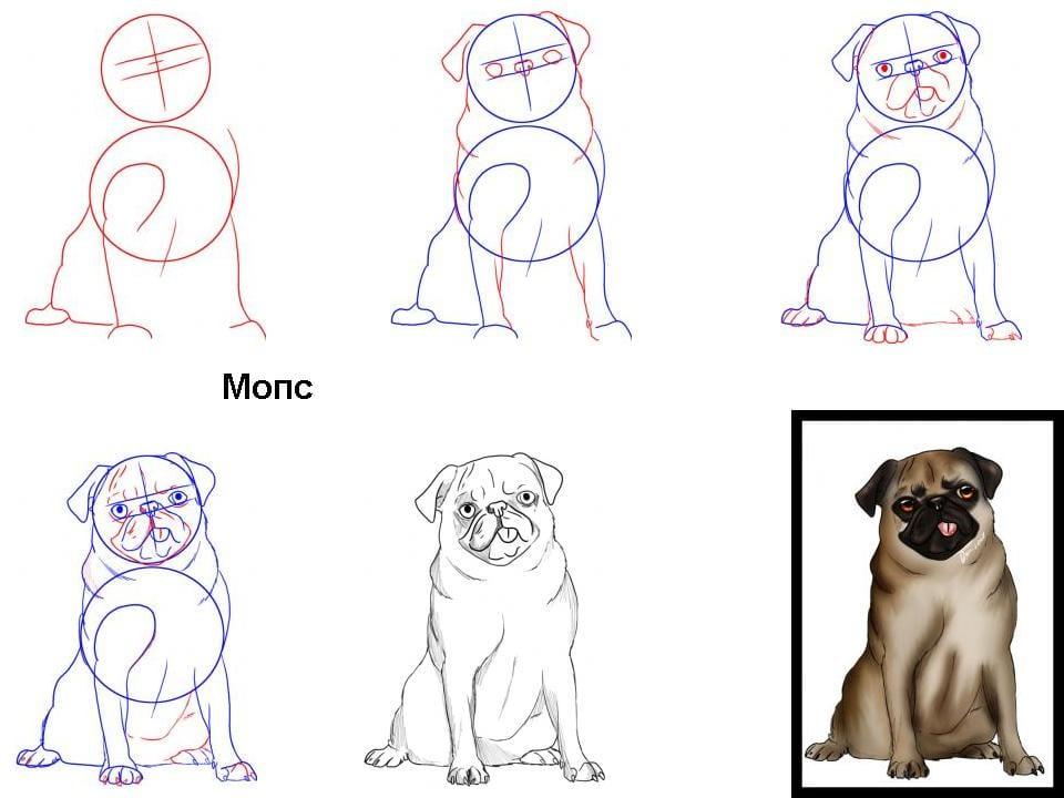 как нарисовать мопса