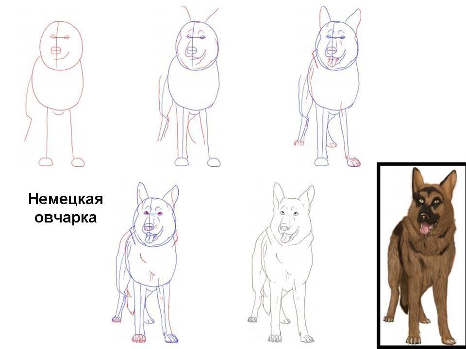 kak-narisovat-sobaku-ovcharku Как нарисовать собаку