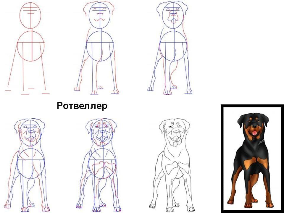 как нарисовать ротвейлера