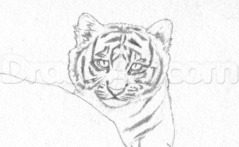 6 Как нарисовать тигренка поэтапно