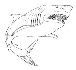 Акула картинки раскраски (31)