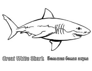 Акула картинки раскраски (41)
