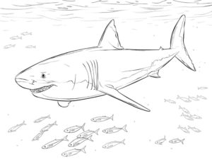 Акула картинки раскраски (8)