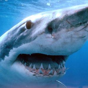 Акула раскраски