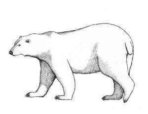 Белый медведь картинки раскраскиБелый медведь картинки раскраски (1)