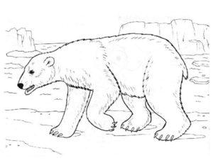 Белый медведь картинки раскраскиБелый медведь картинки раскраски (9)