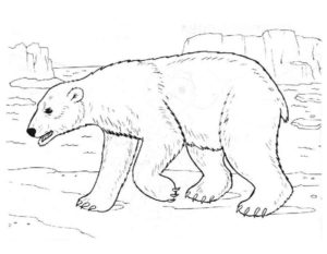 -медведь-картинки-раскраскиБелый-медведь-картинки-раскраски-9-300x233 Белый медведь