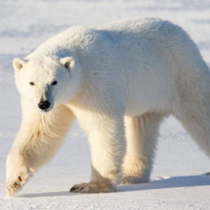 Белый медведь раскраски