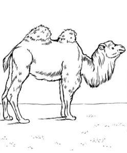 Верблюд картинки раскраски (19)