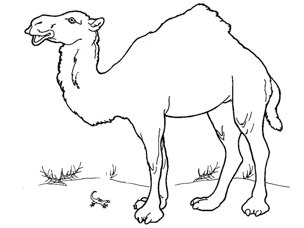 Картинка верблюда для детей раскраска