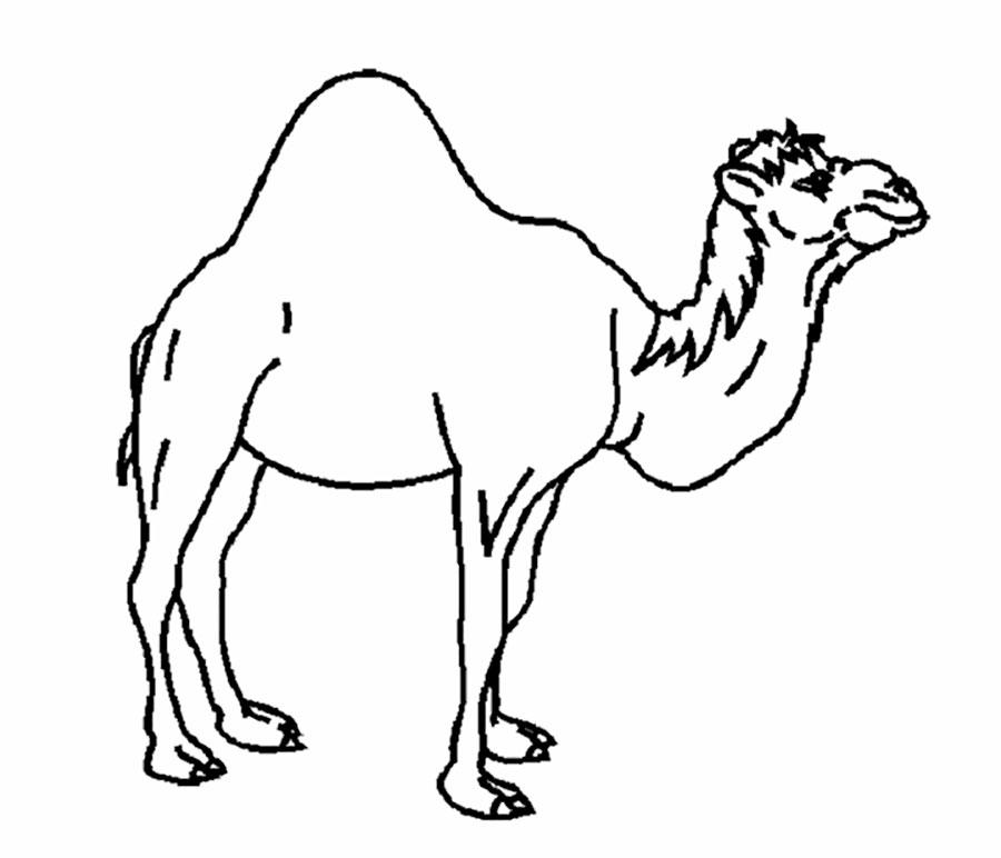 от чего у верблюда горб картинки раскраски являются