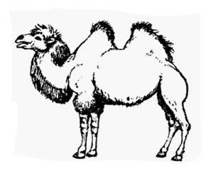 Верблюд картинки раскраски (41)