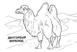 Верблюд картинки раскраски (49)