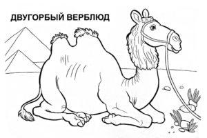 Верблюд картинки раскраски (50)