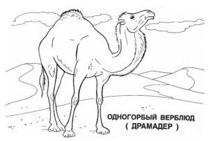 Верблюд картинки раскраски (52)