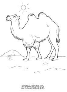 Верблюд картинки раскраски (59)