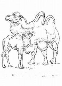 Верблюд картинки раскраски (6)