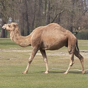 Верблюд раскраски