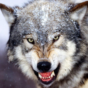 Волк раскраски
