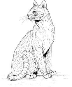Гепард картинки раскраски (10)
