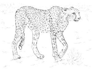 Гепард картинки раскраски (15)