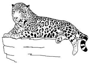 Гепард картинки раскраски (17)