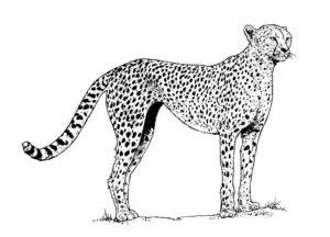 Гепард картинки раскраски (28)